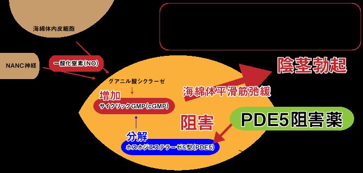 勃起,仕組み,PDE5阻害作用,PDE5